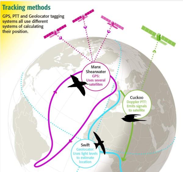 Muuttolintujen ajopiirturi ja mitä todella tapahtuu lennon aikana