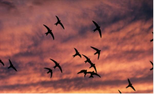 Pääskyt nukkuvat ja uusiutuvat lentäessään